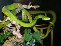 : Dendroaspis angusticeps; East African Green Mamba