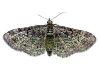 Rhinoprora rectangulata - Green Pug