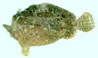 Antennarius dorehensis, New Guinean frogfish: