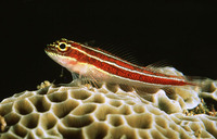 Helcogramma striatum, Tropical striped triplefin: aquarium