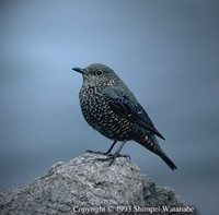 Blue Rock Thrush - Monticola solitarius