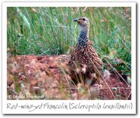 Red-winged Francolin - Francolinus levaillantii