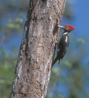 Lineated Woodpecker (Drycopus lineatus) photo