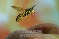 German wasp ( Vespula germanica ) at a peach stock photo