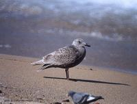 수리갈매기 (Glaucous-Winged Gull) Larus glaucescence