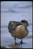 : Anas specularioides; Crested Duck