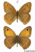Hyponephele lycaon - Dusky Meadow Brown