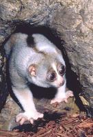 photograph of slow loris