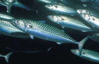 Scomber scombrus, Atlantic mackerel: fisheries, gamefish