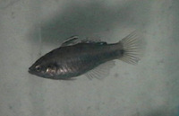 Hypseleotris cyprinoides, Tropical carp-gudgeon: