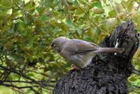 Turdoides striatus - Jungle Babbler