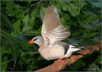 Poephila acuticauda - Long-tailed Finch