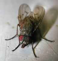 Image of: Diptera (true flies)