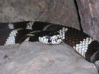 Lampropeltis getula - Common Kingsnake