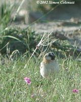 Plain-backed Snowfinch - Pyrgilauda blanfordi