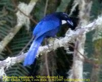 Silvery-throated Jay - Cyanolyca argentigula