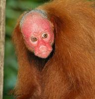 Chavo is a Red Uakari living in the Peruvian Amazon.