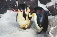 ...FT0142-00: Pair of Emperor Penguins about to exchange their egg. Captive birds. SeaWorld, San Di