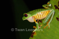 : Agalychnis callidryas; Red-eyed Tree Frog