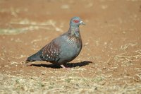 : Columba guinea; Speckled Pigeon