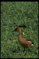 : Dendrocygna bicolor; Fulvous Whistling Duck