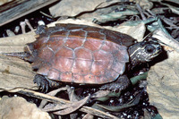 : Geoemyda spengleri; Black-breasted Leaf Turtle