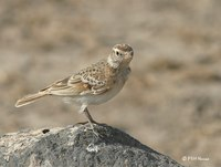 Red-capped Lark, Calandrella cinerea