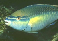 Scarus taeniopterus, Princess parrotfish: fisheries, aquarium