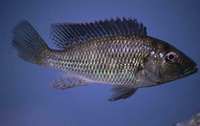 Pharyngochromis acuticeps, Zambezi bream: