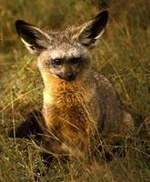 Image of: Otocyon megalotis (bat-eared fox)