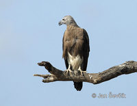 Ichthyophaga ichthyaetus - Grey-headed Fish-Eagle