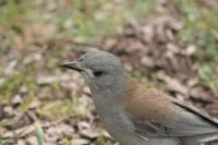 Colluricincla harmonica - Grey Shrike-thrush