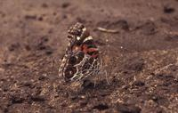 Image of: Vanessa virginiensis (American painted lady)