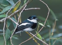 Ward's Shrike-Flycatcher (Pseudobias wardi) photo