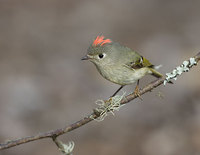 Ruby-crowned Kinglet (Regulus calendula) photo