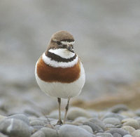 Double-banded Plover (Charadrius bicinctus) photo