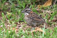 Rufous-collared  sparrow   -   Zonotrichia  capensis   -