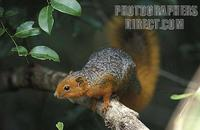 ...Red bellied coast squirrel ( Paraxerus palliatus ) , Shimba Hills National Park , Kenya stock ph