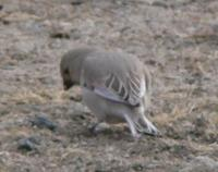 Desert Finch, 8 April 2007 Khovd. Photos © A. Braunlich