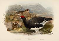 Wolf and Richter after Gould Ptarmigan: Summer plumage (Lagopus mutus)
