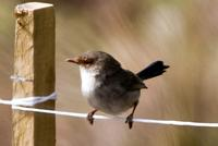 Wren Female (Superb Fairy-Wren (Malurus cyaneus))