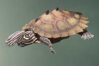 : Grapemys nigrinoda; Black-knobbed Map Turtle