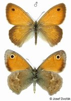 Coenonympha pamphilus - Small Heath