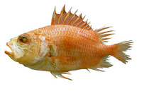 Corniger spinosus, Spinycheek soldierfish: fisheries