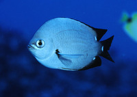 Chromis verater, Threespot chromis: aquarium