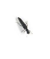 Image of: Staphylinidae (rove beetles)