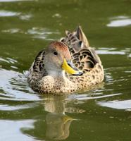 Image of: Anas flavirostris (speckled teal)