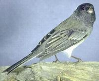 Image of: Junco hyemalis (dark-eyed junco)