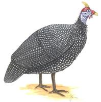 Image of: Numida meleagris (helmeted guineafowl)