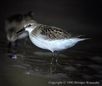 Red-necked Stint - Calidris ruficollis